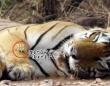リアルど根性ガエル。眠っているトラの顔面にダイブ!(インド)