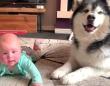 この子に「お手!」教えちゃっていいの?赤ちゃんの初めての「お手!」に戸惑うマラミュート