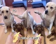 やったのは誰?飼い主の尋問に対し、正直に犯人を示した犬、示された犬の面白反応