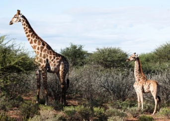 世界初、極端に脚の短いのキリンが発見されていた(アフリカ):追記あり