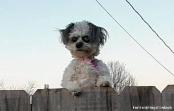鬼犬かな。フェンスの上から鬼の形相でにらみつける犬