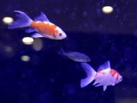 好適環境水の水槽で仲良く泳ぐ、金魚とイシモチ。