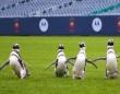 ペンギンたちの遠足。アメリカンフットボールのスタジアムを走り回る(アメリカ)