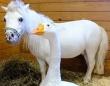 ひどい環境の中で固い絆を結んでいたガチョウとミニチュアホース。保護された後もガチョウは馬を守ろうと必死(アメリカ)