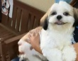 出会いはいつも突然に。シーズーのラフィーさん、動物病院でかわいいあの子と出会って二ヤリ