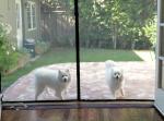 窓ガラスじゃないよ!家に入れないと思っている2匹の犬が可愛すぎる…!