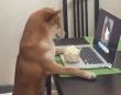 ネトフリ大好き柴犬?ポップコーンを食べながら人間さながら椅子に座って映画鑑賞