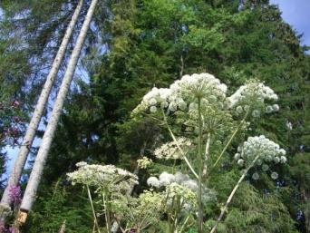 俺に触るとヤケドするぜ。イギリスで最も恐れられている有毒植物「ジャイアント・ホグウィード」(※皮膚疾患画像注意)