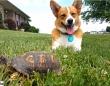 こいつ、動くぞ!岩かと思ったら亀だったことに驚きを隠せないコーギー犬