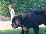 巨大なワンちゃんの散歩をする小さな男の子の対比が微笑ましい…!