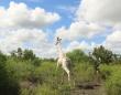 世界で唯一の白いキリンを密猟者から守るため、GPSを装着(ケニア)