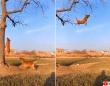 犬も楽しきゃ木に登る!木にぶら下がったテニスボールを空中キャッチする凄い犬たち