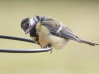 あのかわいらしい鳥に一体何が?シジュウカラが他の鳥を襲い脳を食べていたことが確認される(英研究)