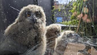 ヨーロッパ最大のフクロウ、アパート3階に巣を作る。3羽のヒナが窓越しからテレビ鑑賞(ベルギー)