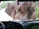 まるでジュラシックパーク!? 野生の象とバスの衝突事故!