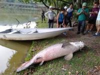 いったいなぜ?アマゾンにいるはずの巨大魚「ピラルクー」が、なぜかマレーシアで発見される