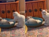 「ウサギにベッドを奪われた。なんとかしろ!」ジャイアニズム全開のウサギに対し、飼い主に目で訴える猫