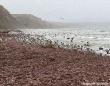 こ!これは!!海岸を埋め尽くすほどの大量の環形動物が打ち上げられる(アメリカ)※ユムシ大量注意