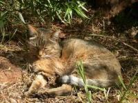 DNA鑑定で「飼いネコ」のルーツはリビアヤマネコと判明(写真はWikipediaより)