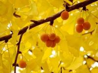 イチョウの葉とぎんなんの実(「Wikipedia」より)