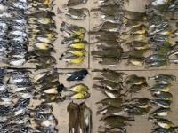 ニューヨークで渡り鳥の大量死。その原因は高層ビルであることが明らかに