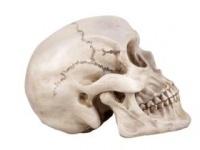 頭蓋骨は雄弁に物語る(shutterstock.com)