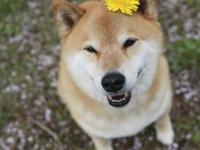 今年はどこでお花見する?柴犬まるが紹介するおすすめ桜スポット
