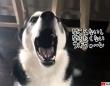 いたずらで叱られているハスキー、飼い主の声に鳴き声を被せて聞こえないふり作戦