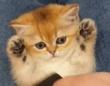 チンチラの赤ちゃん、ブラシをされてうっとりする。その表情がかわいいんじゃ~