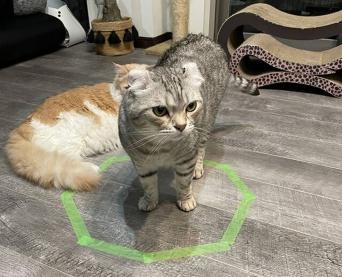 猫がテープを張っただけの平面の図形に転送されがちなのは、大好きな箱に見えるからという科学研究