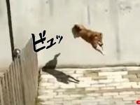 これぞ無策(柵)。柵が全く役に立たない驚きの跳躍力を持つ犬