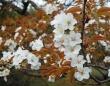 こちらはよく似ているとされるヤマザクラ(Pekachuさん撮影, Wikimedia Commonsより