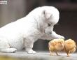 遊ぼ遊ぼ!いっしょに遊ぼ!可愛い子犬とヒヨコのらぶらぶプレイタイム