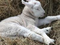 目をつぶった羊