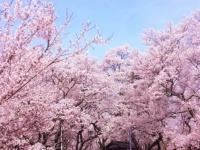 春到来! お花見で聴きたい桜ソング8選