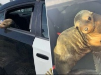 なぜそこに!高速道路上で迷子のアシカの赤ちゃんが発見され、警察に保護される(アメリカ)
