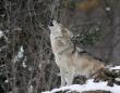 仲間探して3千里以上。14020kmもの距離をたった1匹で旅した孤独な狼の物語(アメリカ)