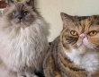 これだから多頭飼いはやめられない。青い目のモフふわキャットジョージさんと、鼻ぺちゃキュートなウィージーさんののほほんのんびりライフにズームイン!