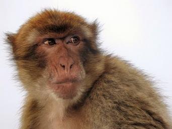 サルの脳にヒトの遺伝子を移植し認知機能を進化させる実験が行われる(中国研究)