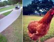 鶏の脱走大作戦、配達車のトランクに潜り込み、この支配からの卒業(アメリカ)