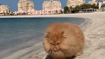 元保護猫のペルシャ猫ゼンさん、ビーチをのしのしと歩くよ。その風貌にしびれる憧れる~!