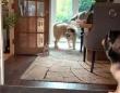 犬も猫も今はおうちでいっしょに遊ぼう!マラミュートのフェッチを邪魔する猫
