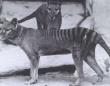 最後の1頭となったタスマニアタイガーの未公開映像が公開される(1935年撮影)