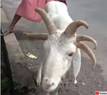 神の使いか?5本角の羊がイスラム教の祭日の前夜、市場に現れる