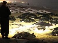 パレスチナガザ地区の海岸でイトマキエイが大量死
