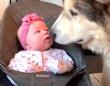 マラミュートが赤ちゃんにキスキスキス!犬と猫とベビーガールのハッピータイムにズームイン