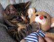 ねぇ、あれはどこ?あれがないと眠れないの。ぬいぐるみを抱っこして眠りにつく子猫