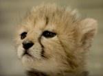 チーターの赤ちゃんがかわいすぎて悶絶してしまうッ…!