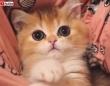 子猫からの「今日も1日お疲れさま!」マンチカンの赤ちゃんに笑顔をもらっちゃおう