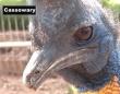 バッタリ出くわしたらどうしよう?「世界で一番キケンな鳥」ヒクイドリの真実にズームイン!